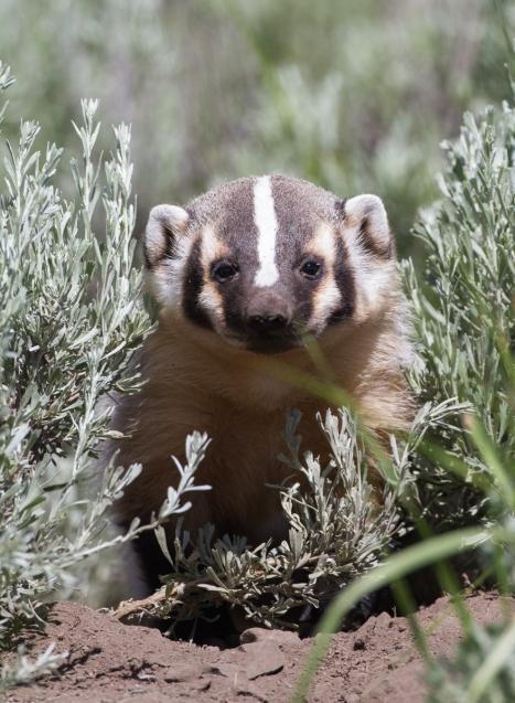 Badger baby