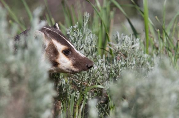Badger head peeking out of sagebrush