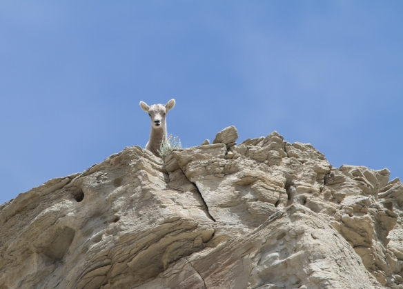 Bighorn Sheep lamb on cliff