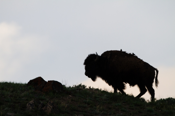 Bison silhouette in Lamar Valley