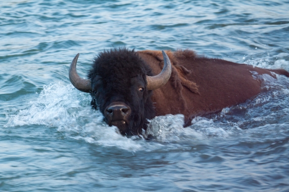 Bison swimming Lamar River