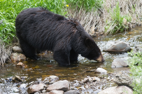 Black Bear in creek