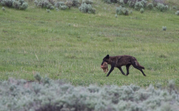 Black wolf with Coyote pup 3