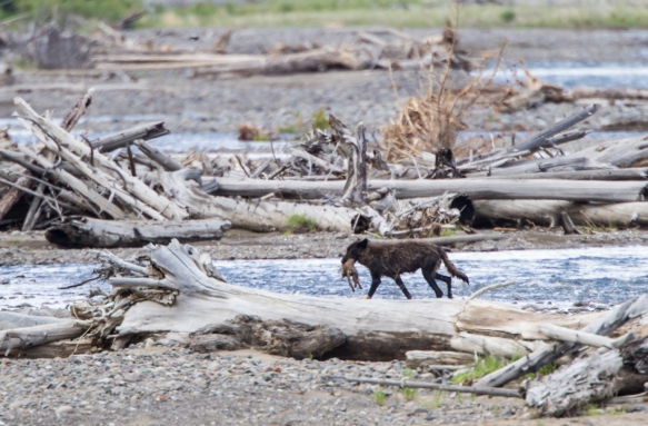 Black wolf with Coyote pup crossing river