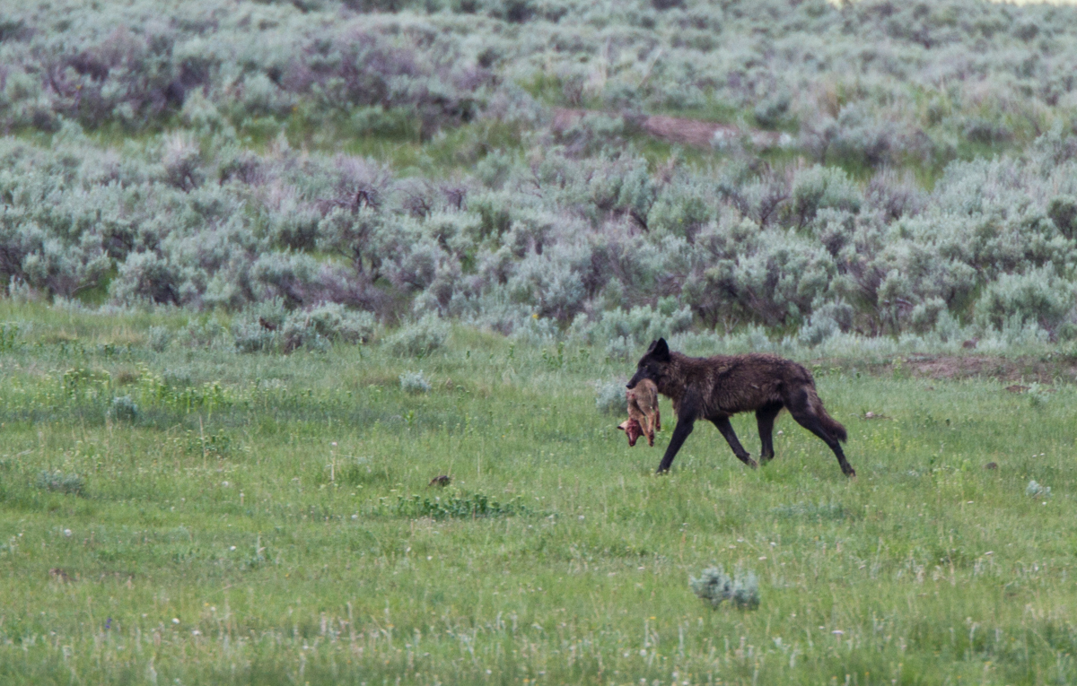 Black wolf with Coyote pup | Roads End Naturalist