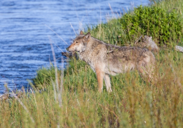 Gray Wolf at Soda Butte Creek