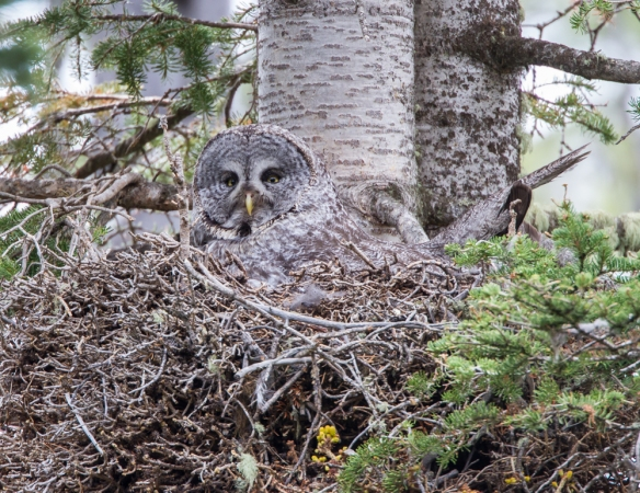 Great Gray Owl in nest 1