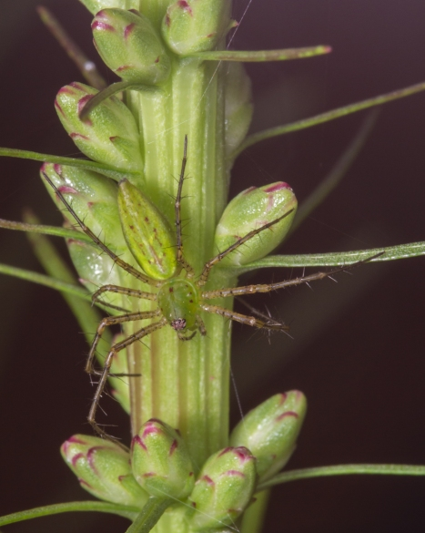 Green Lynx Spider immature