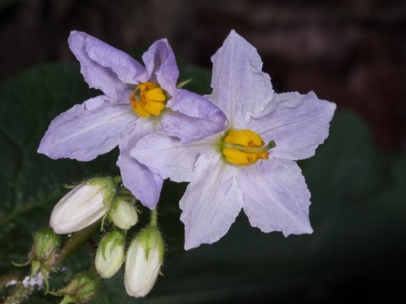 Horse Nettle flower