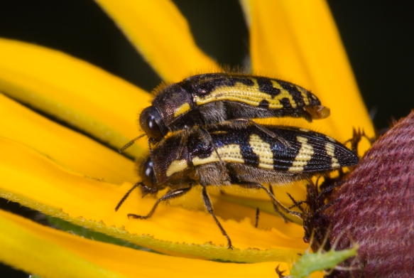 Metallic Wood Borer, most likely Acmaeodera pulchella
