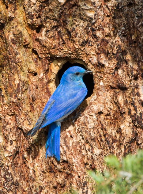 Mountain Bluebird at nest cavity