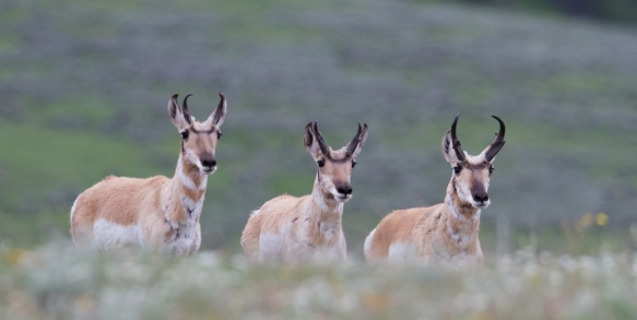 Pronghorn boys club