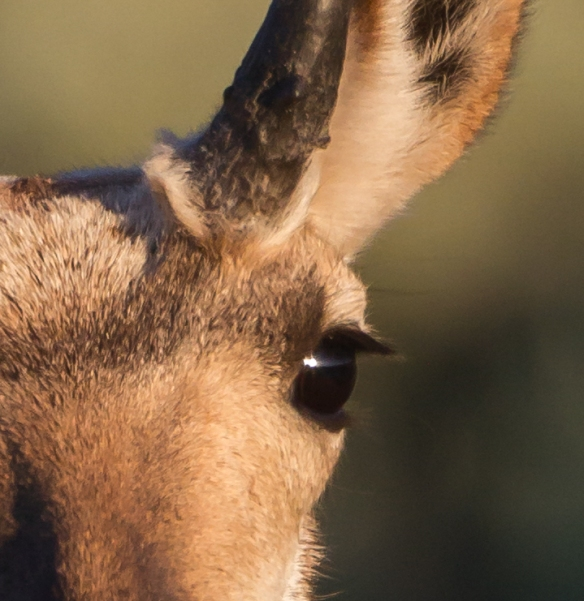 Pronghorn eye