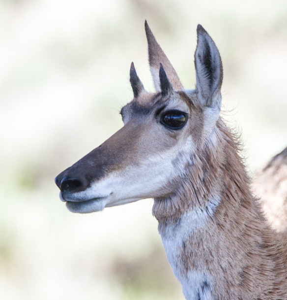 Pronghorn face