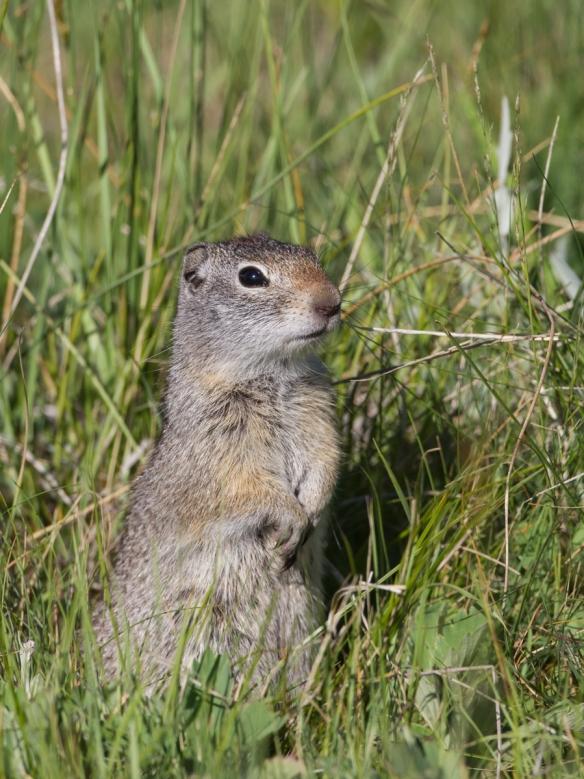 Uinta Ground Squirrel near Badger den