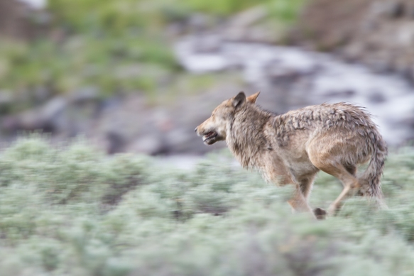 Wolf running close to us