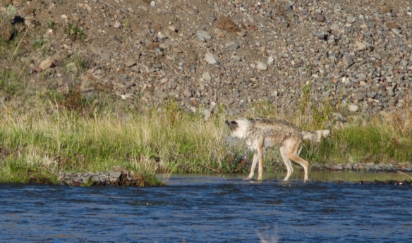 wolf shaking after crossing creek