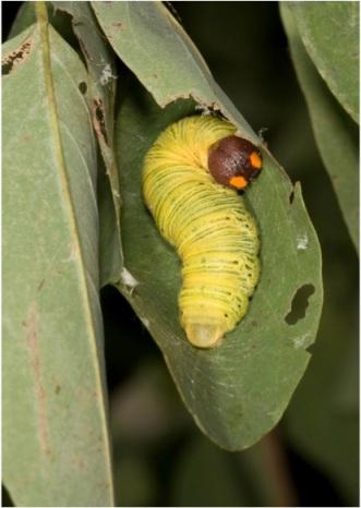 Caterpillar in leaf