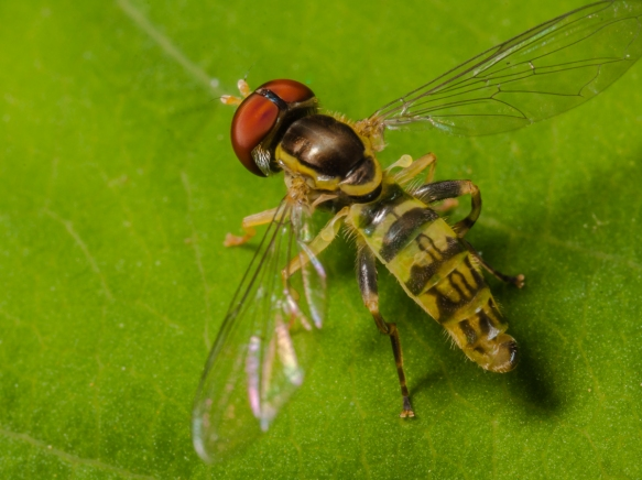 Flower Fly showing halteres_
