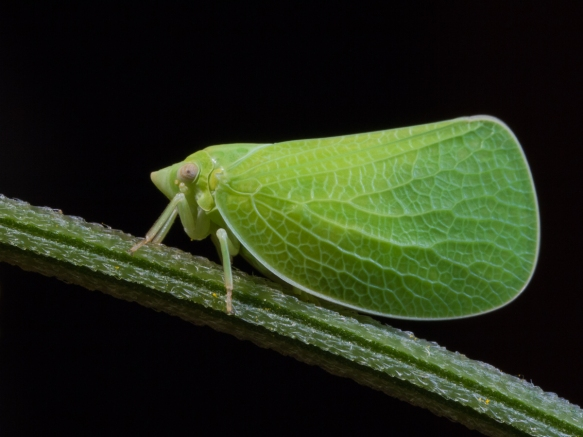 Green Coneheaded Planthopper
