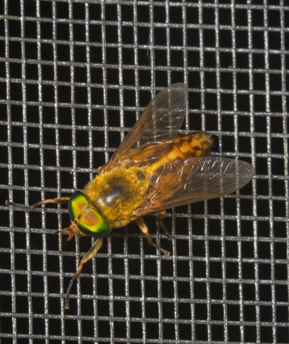 Green Head Horsefly on screen