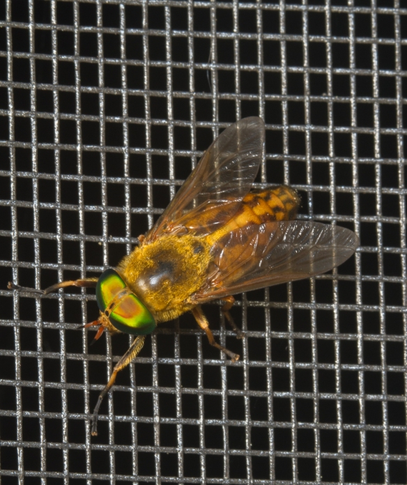 Green Head Horsefly on screen