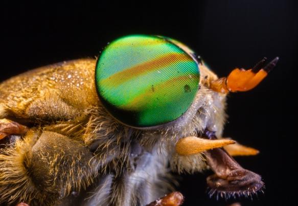 Greenhead Horsefly 1