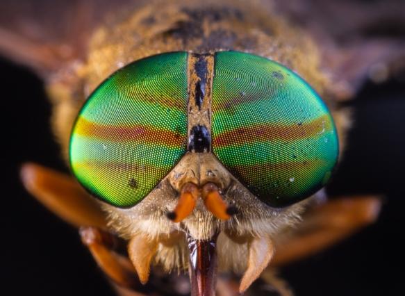 Greenhead Horsefly
