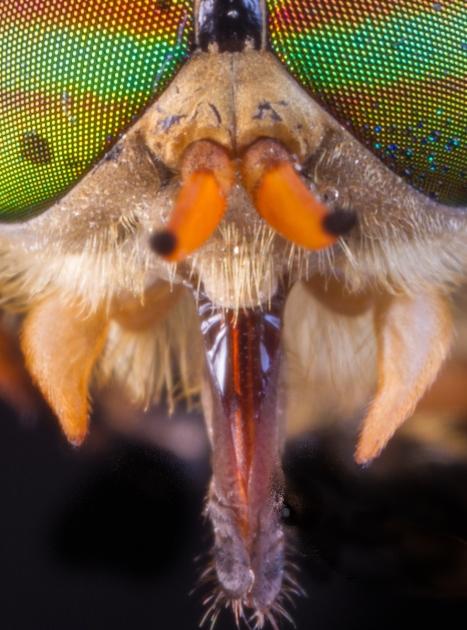 Horsefly mouthparts