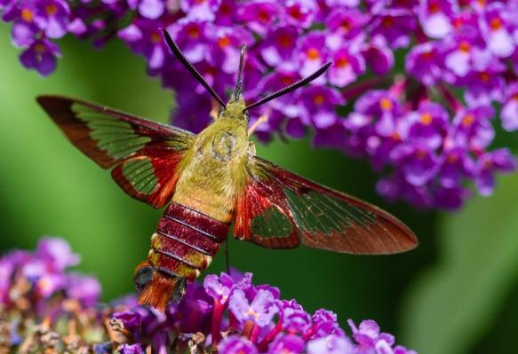 Hummingbird Clearwing, Hemaris thysbe 1
