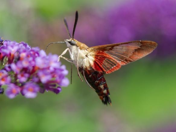 Hummingbird Clearwing, Hemaris thysbe 2