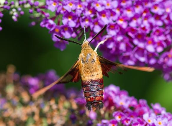 Hummingbird Clearwing, Hemaris thysbe 3