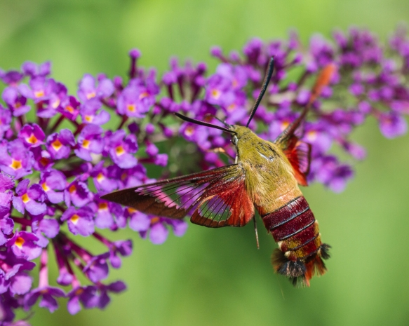Hummingbird Clearwing, Hemaris thysbe 5