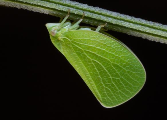 Planthopper 1