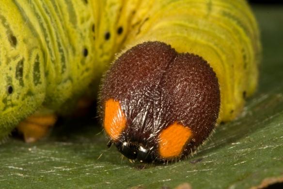 Silver-spotted Skipper larva head