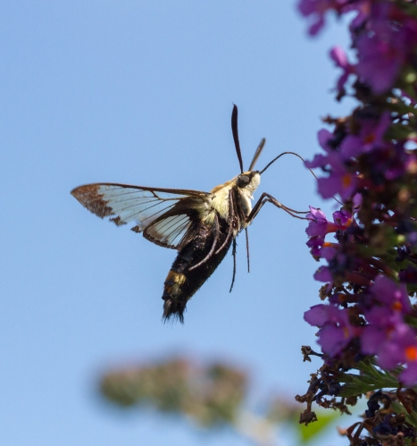 Snowberry Clearwing, Hemaris diffinis 1