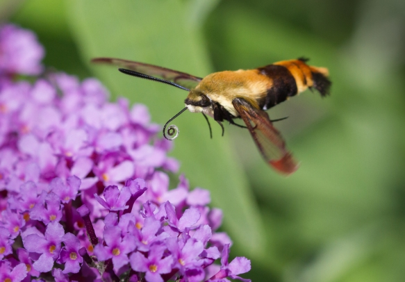 Snowberry Clearwing, Hemaris diffinis 3