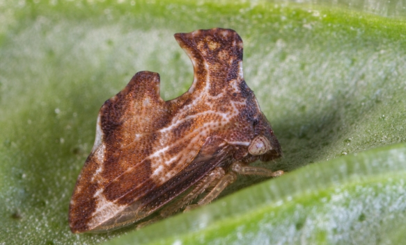 Treehopper 1