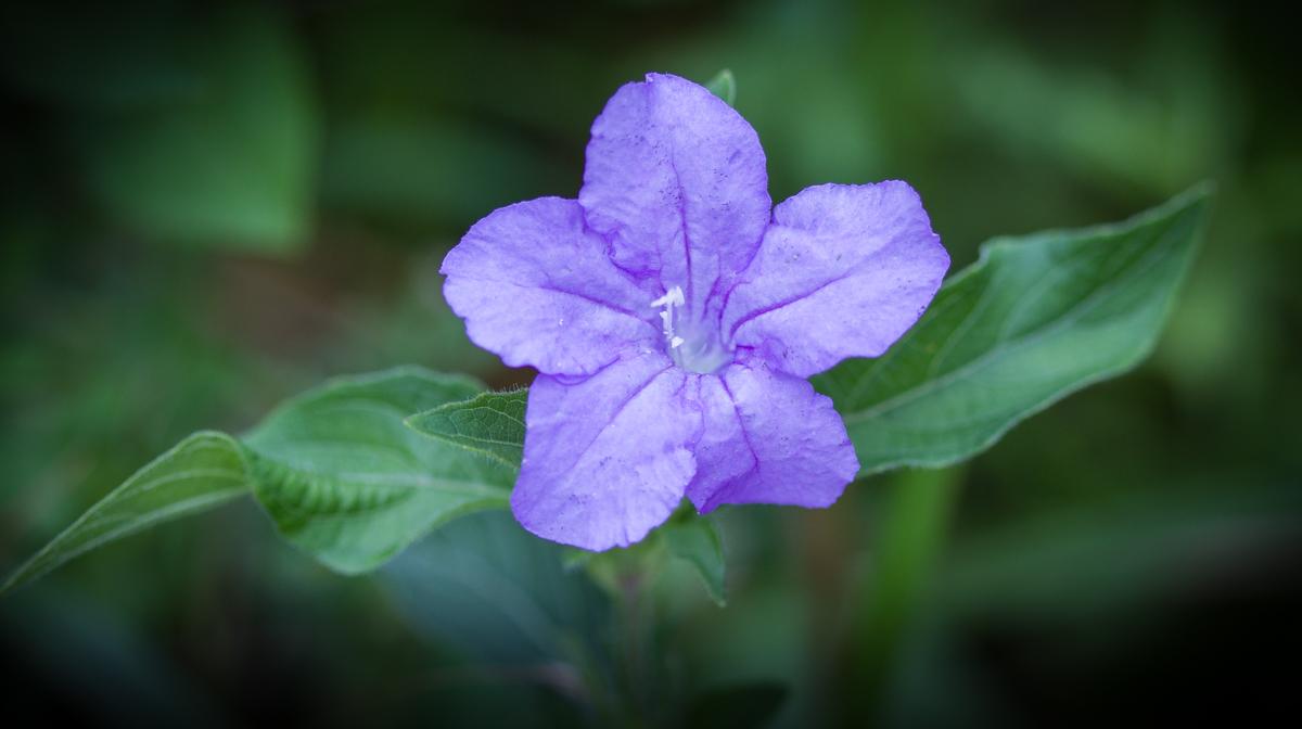 Carolina petunia salvaje | Natural de las carreteras