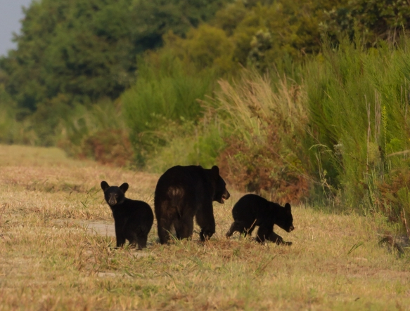 Bear with two cubs on Allen Rd