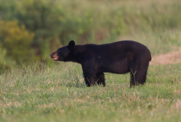 Black Bear after coming out of soybean field