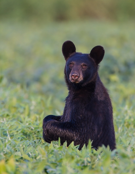 Blsck Bear standing in soybean field