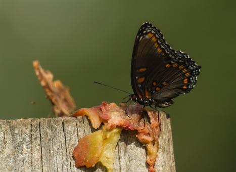 Butterflies feeding on fig