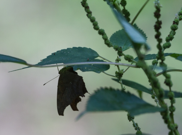Butterfly in egg-laying behavior