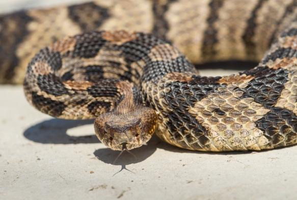 Canebrake Rattlesnake defensive posture