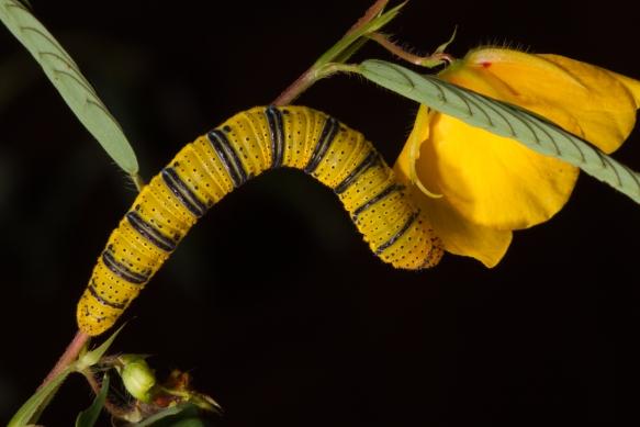 Cloudless Sulphur larva