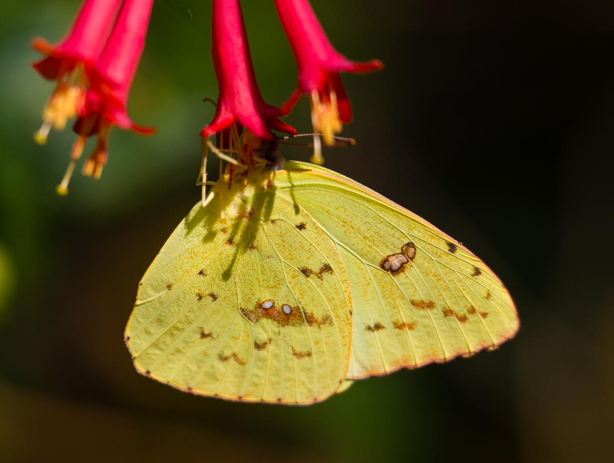 Clouded Sulphur Butterfly in Alaska |Clouded Sulphur Butterfly