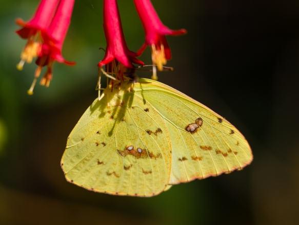 Cloudless Sulphur on Coral Honeysuckle
