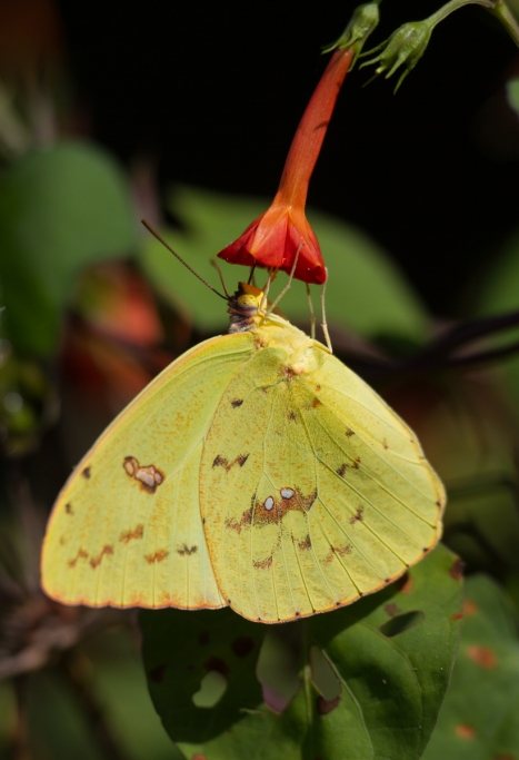 Cloudless Sulphur on small red morning glory