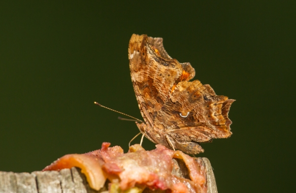 Comma feeding on fig 1